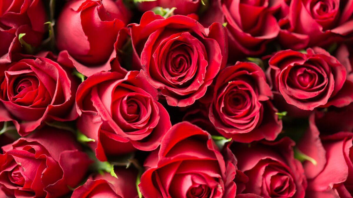 Po czym poznać sadzonki róż dobrej jakości?