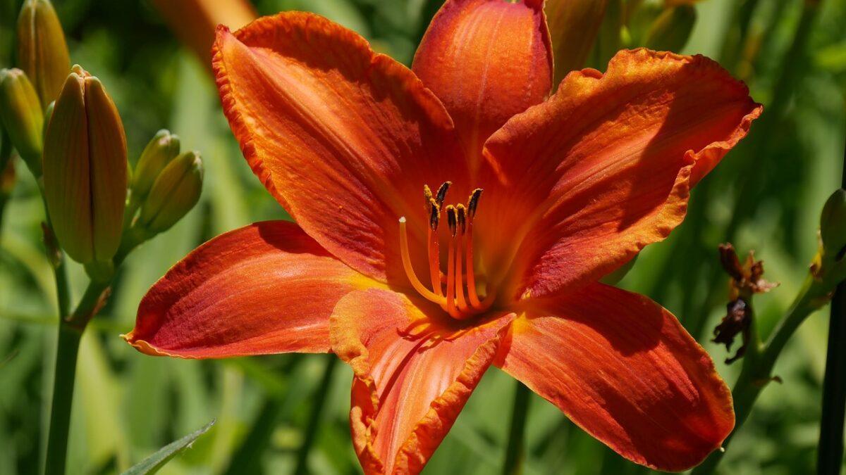 Najpopularniejsze gatunki lilii ogrodowych